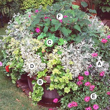 Go Crazy!      PREV  28/30  NEXT  Go Crazy!  Container gardens don't have to be restrained. This striking collection displays beautiful foliage textures and colors of foliage against pink and cerise flowers.  A. Dusty miller (Senecio 'Silver Dust') -- 3  B. Ivy-leaf geranium (Pelargonium 'Crocodile') -- 3  C. Scented geranium (Pelargonium tomentosum) -- 3  D. Licorice plant (Helichrysum petiolare 'Variegatum') -- 5  E. African daisy (Arctotis 'Cerise') -- 3  F. Salvia patens -- 2