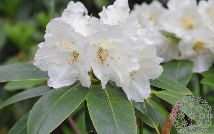 Uusi ihanuus on myös ylläoleva ´Suomi 100´ -nimen juhlavuoden kunniaksi saanut uusi alppiruusulajike, jonka väri on hennon esikonkeltainen. Lue lisää uusimmasta blogipostauksestani www.puksipuu.com