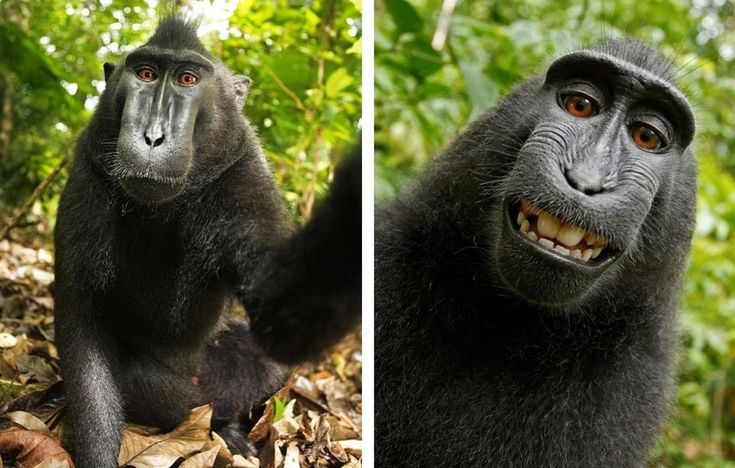 A macaque monkey in Indonesia took a camera from a wildlife photographer before snapping himself in a variety of poses.  The macaque monkey is extremely rare and critically endangered making these pictures all the more special.