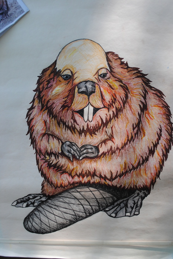 Bald Beaver ;0) | Kristen's Art | Pinterest | Beavers