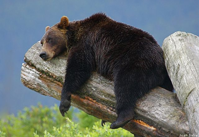 """""""Hang in there!"""" Grizzly bear, Alaska"""