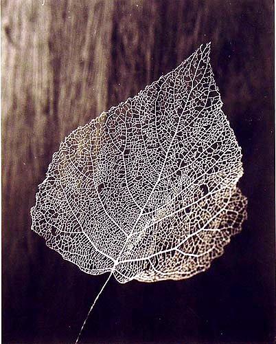 silver leaf skeleton #beauty #photography #leaf