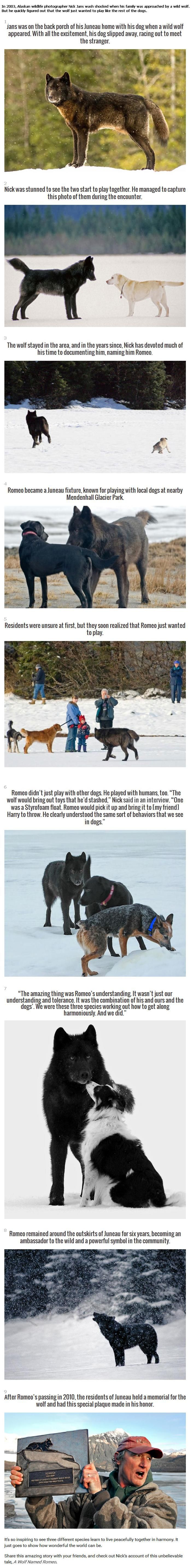 A Wolf named Romeo