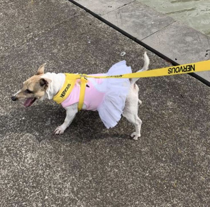 NERVOUS Harness & Lead in 2020 Anxious dog, Dog