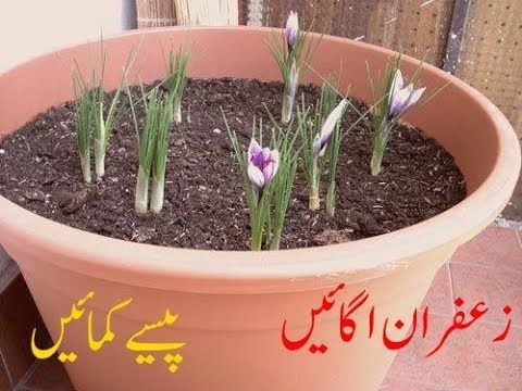 How To Grow Saffron Plant At Home and earn Huge money (Urdu/Hindi) - YouTube