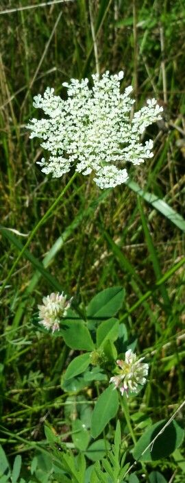 Queen Anne's Lace with Clover, Aug 2013 Lebanon OH