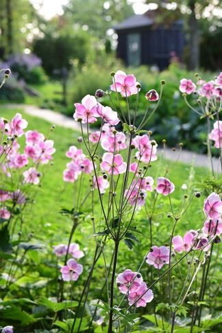 Japanese anemones, uncredited photo