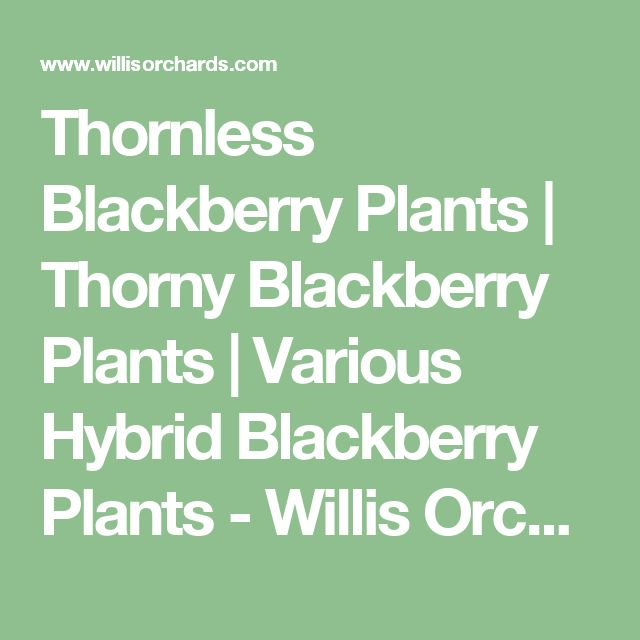 Thornless Blackberry Plants | Thorny Blackberry Plants | Various Hybrid Blackberry Plants - Willis Orchard Company | Willis Orchards