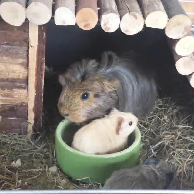 do guinea pig bite?