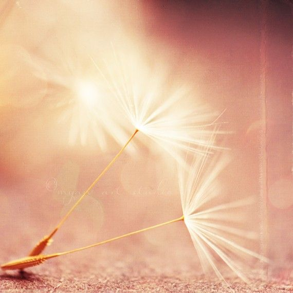 photography, dandelion seeds photograph, my wish for you, nature photo magic wand, peach pink apricot golden champagne coral baby room 8x8 on Etsy, $29.35 AUD