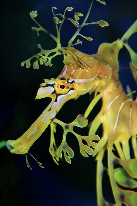 best 20 sea dragon ideas on pinterest ocean creatures beautiful sea creatures and underwater life