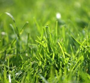 Como plantar grama esmeralda
