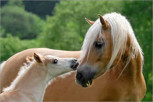 poster Haflinger horses foal with mare cuddling