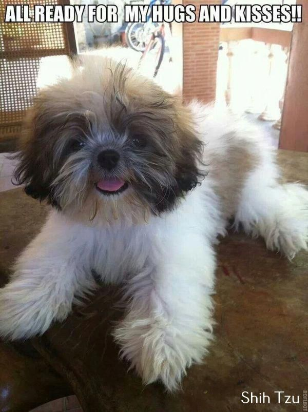 Pin by Becky McCarville on Maddie in 2020 | Shih tzu, Shih ...