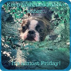 Boston Terrier TGIF - it's almost Friday !!