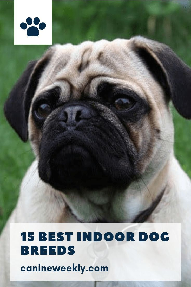15 Best Indoor Dogs For Homebodies Big Dog Breeds Beautiful Dog