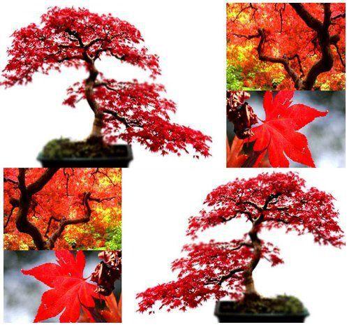10x Érable Rouge Graines d'arbres Acer Rubrum–Excellente pour japonais bonsaï–SE Développe en plein Soleil ou partiel Abat-jour–…