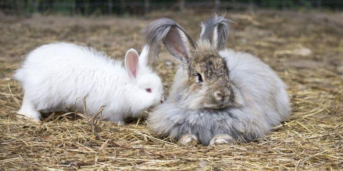 chinese angora rabbit - photo #24