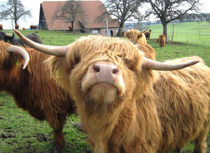 18 pictures that will make you miss Scotland - Scotland Now It's a highland cow!
