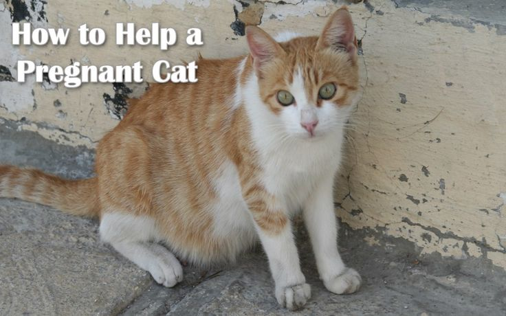 How to Help a Pregnant Cat