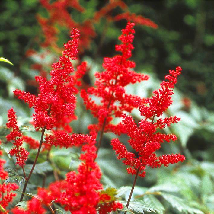 Prachtspiere 'Red Sentinel' - Astilbe japonica 'Red Sentinel'