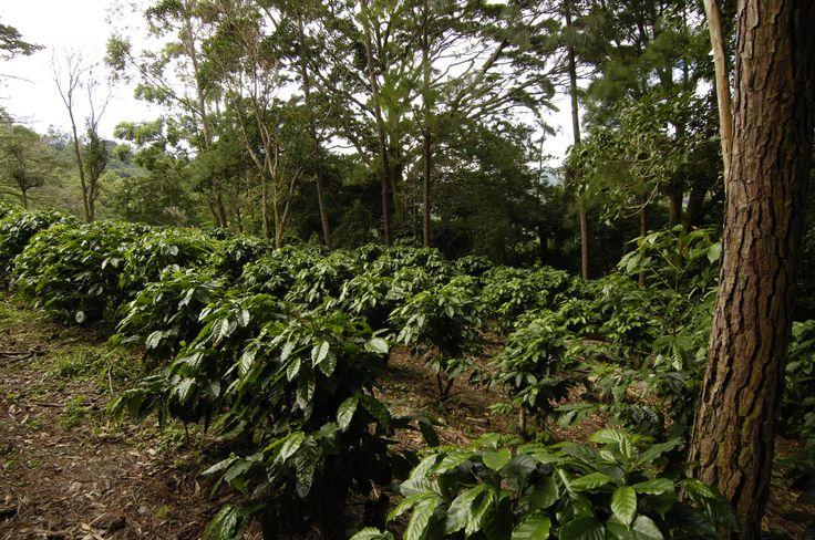 Growing coffee plants
