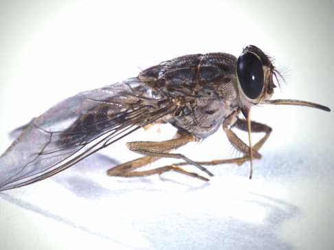 Pictures of flies - Tsetse fly