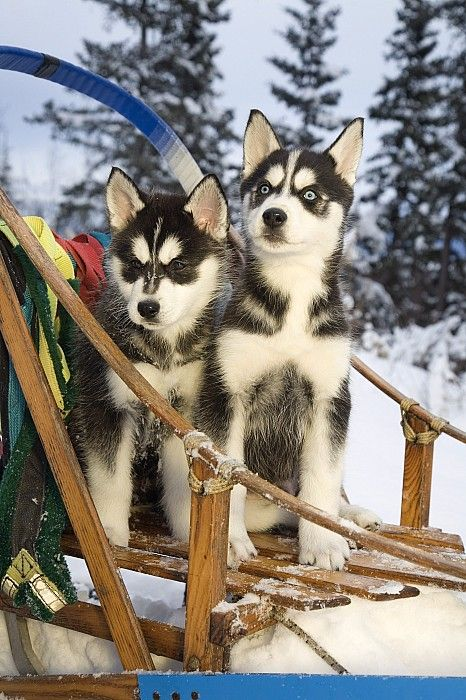 Two siberian husky puppies sitting in dog sled in Alaska