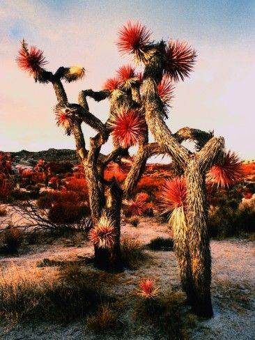 Joshua Trees in bloom by Paul Edmondson