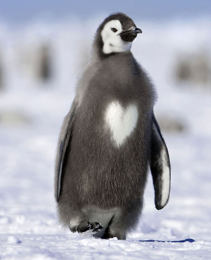 Emperor penguin chick with a heart http://ift.tt/2rq63A1