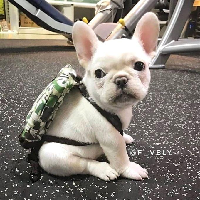 Tonight S Secret Underground Birthday Party Attire Bulldog Puppy Beautiful Animal Pup Niedliche Tierbabys Babytiere Susse Tiere