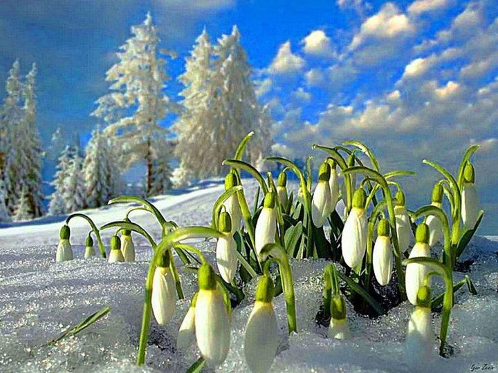 Snowdrops, my favorite early blooming flowers.