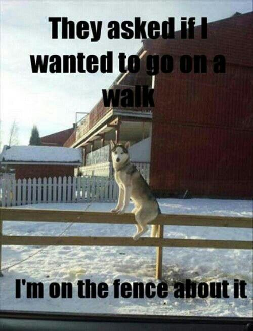 On The Fence About It Siberian Husky Dogs Thoughts