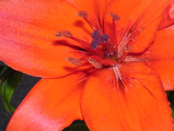 Asiatic lilly close up of stamens and stigma