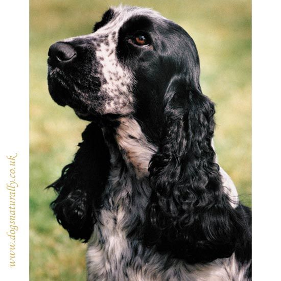 This Standard Blue Roan Cocker Spaniel magnetic note pad is a great gift idea for any dog lover. Ideal for making lists, taking and leaving messages or remi