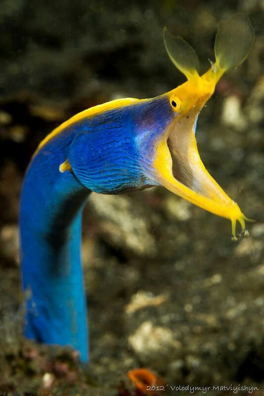 #Blue #moray #eel   http://www.roanokemyhomesweethome.com                                                                                                                                                     More