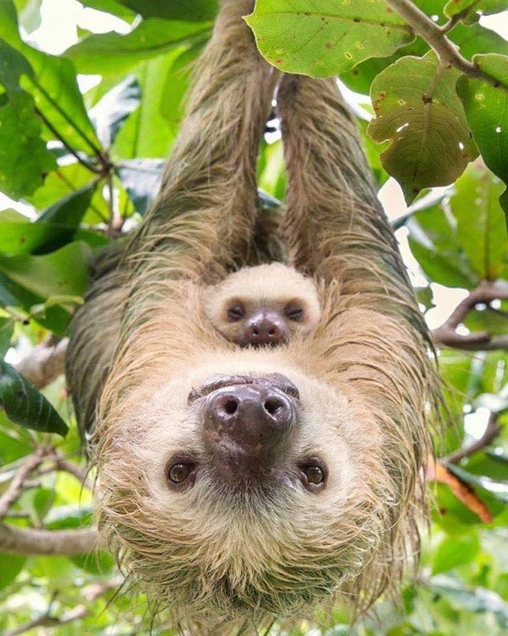 Mommy sloth with baby