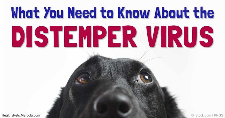 Canine Distemper, a highly contagious virus, can lay hidden in your pet for several months after infection without them showing any clinical signs of illness. http://healthypets.mercola.com/sites/healthypets/archive/2016/10/30/canine-distemper-virus.aspx