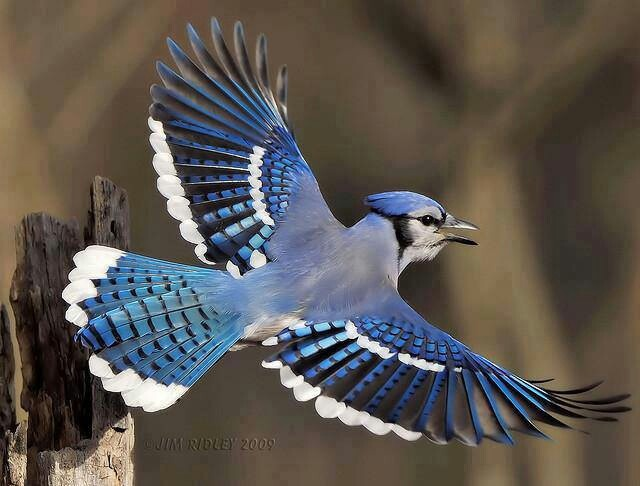 Bluejay - I see these all the time. This really is a ...