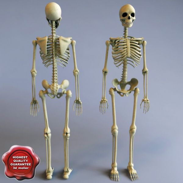 7 best images about college on pinterest | models, human anatomy, Skeleton