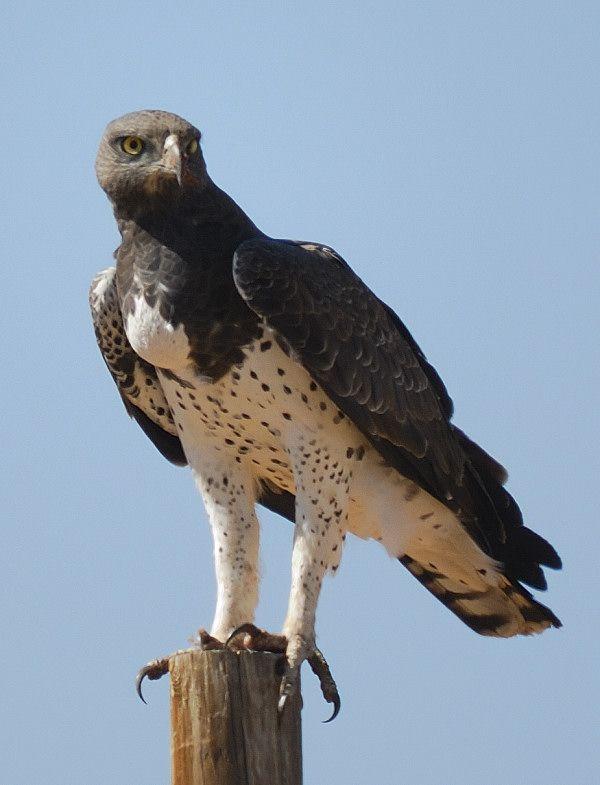 Martial Eagle | Birds | Pinterest