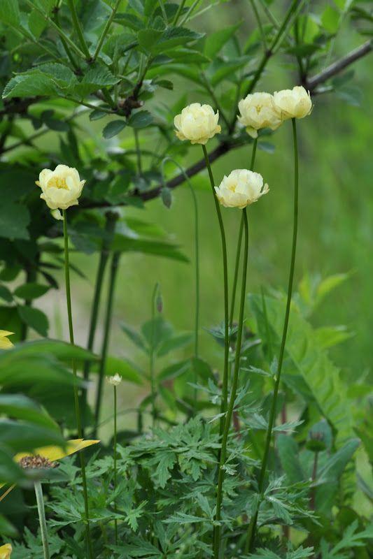 Trädgårdssmörboll, Trollius cultorum 'Alabaster', 40 cm, krämgul, gillar fuktig halvskugga-skugga.