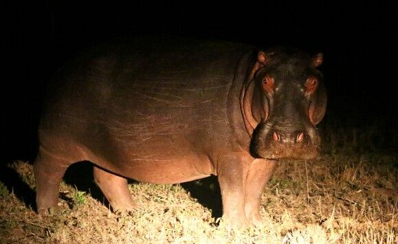 Hippo walking about at night between the different dams.