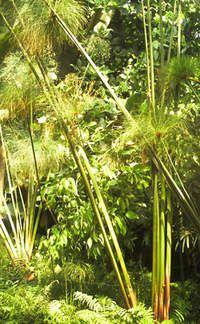 Papyrus plants x 20