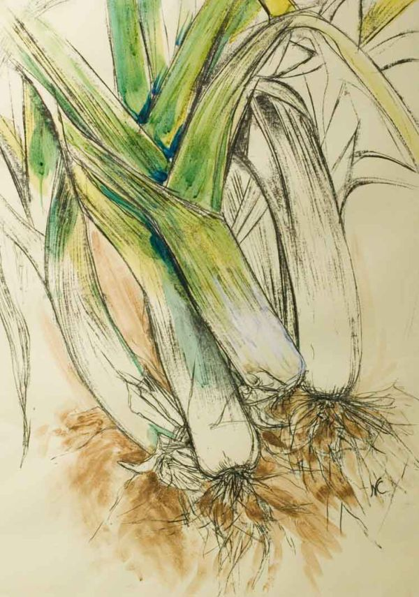 Natasha Clutterbuck - Curvy Leeks Sketch with a bit of watercolor...nice