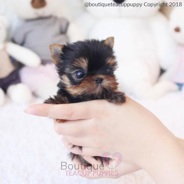 Adorable Micro Teacup Yorkie Baby Available Toto Is A Dream Come