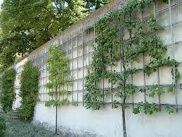 leibomen langs de muur