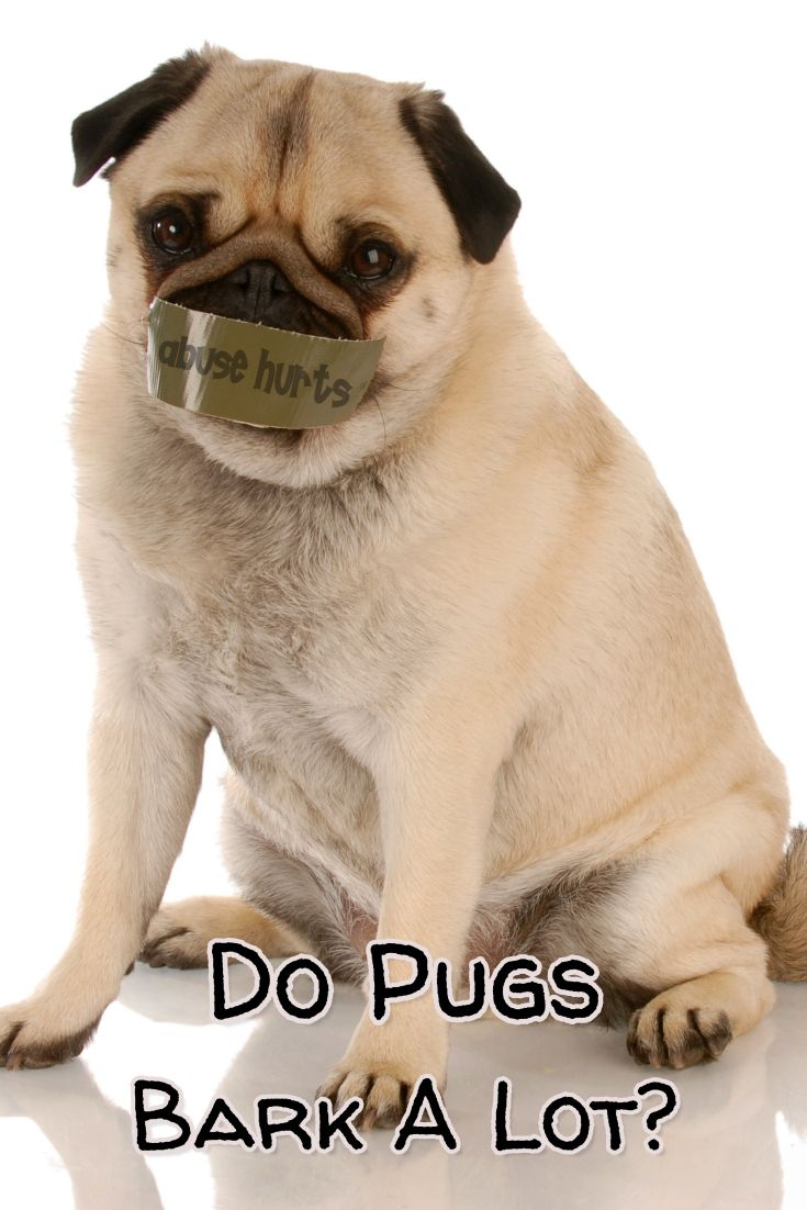 Do Pugs Bark No One Wants A Yappy Dog Especially With Neighbors
