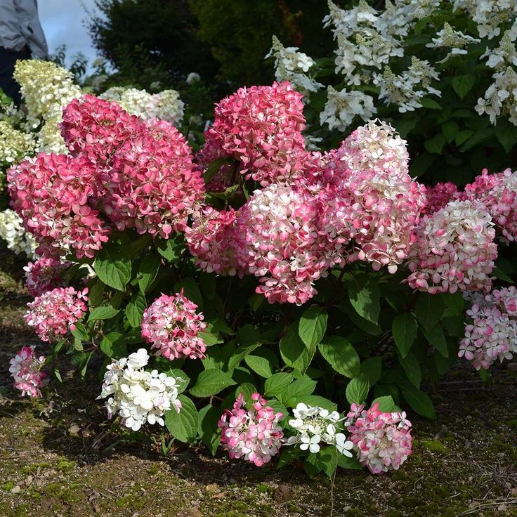 hydrangea paniculata diamond rouge. Black Bedroom Furniture Sets. Home Design Ideas