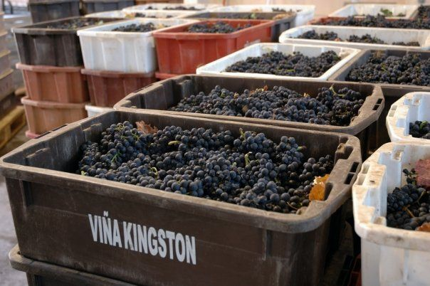 Cosecha de Kingston Family Vineyards- Valle de Casablanca